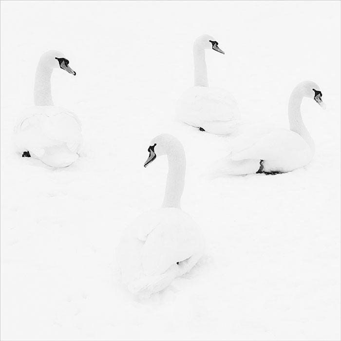 Vier Schwaene im Schnee